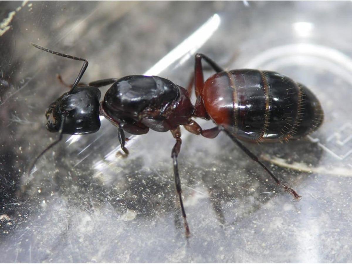 características de la hormiga carpintera