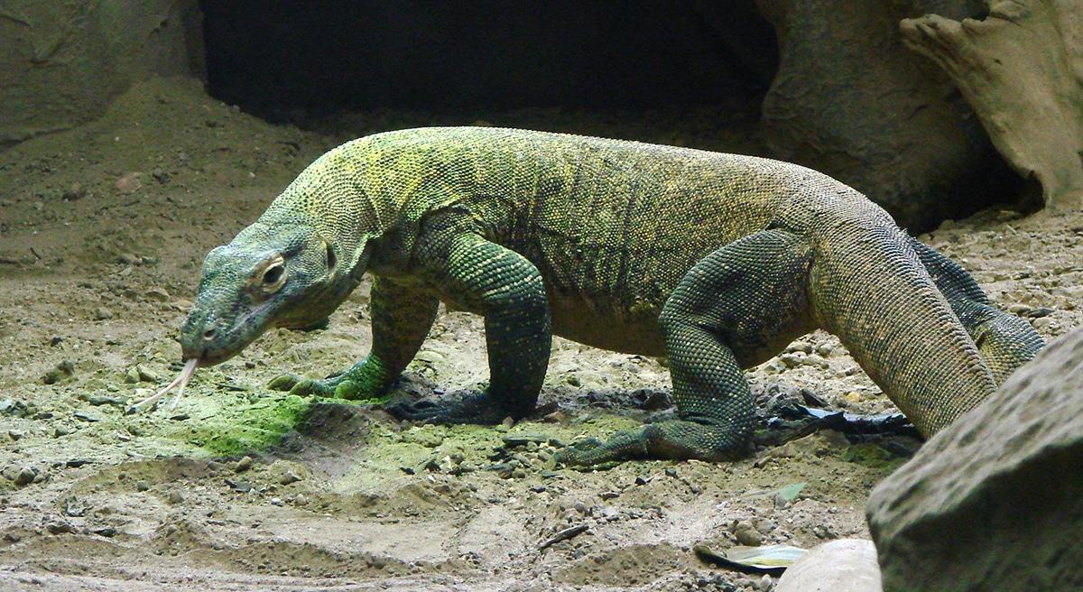 Megalania tiene muchas similitudes con el dragón de komodo