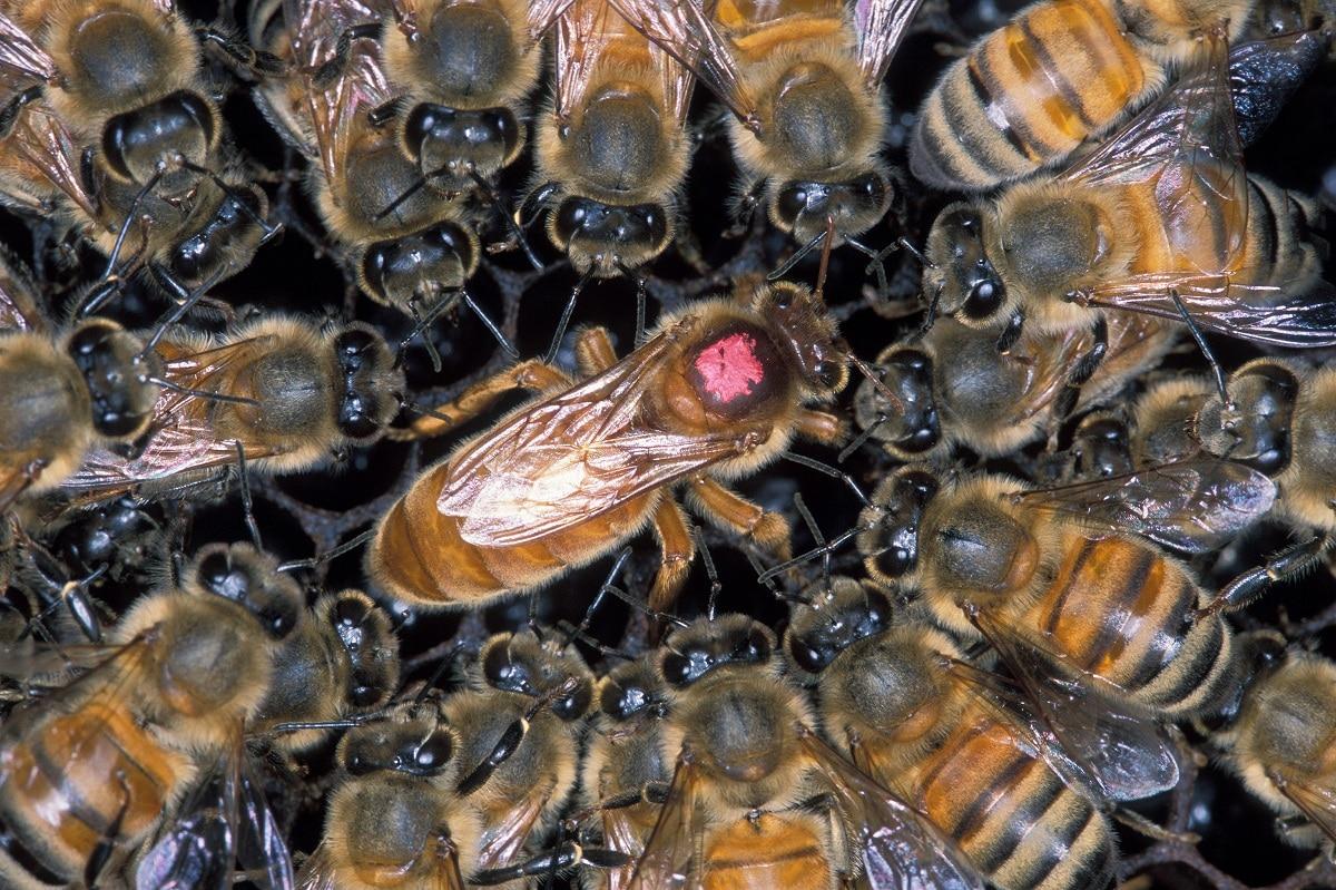 efecto de abeja africana