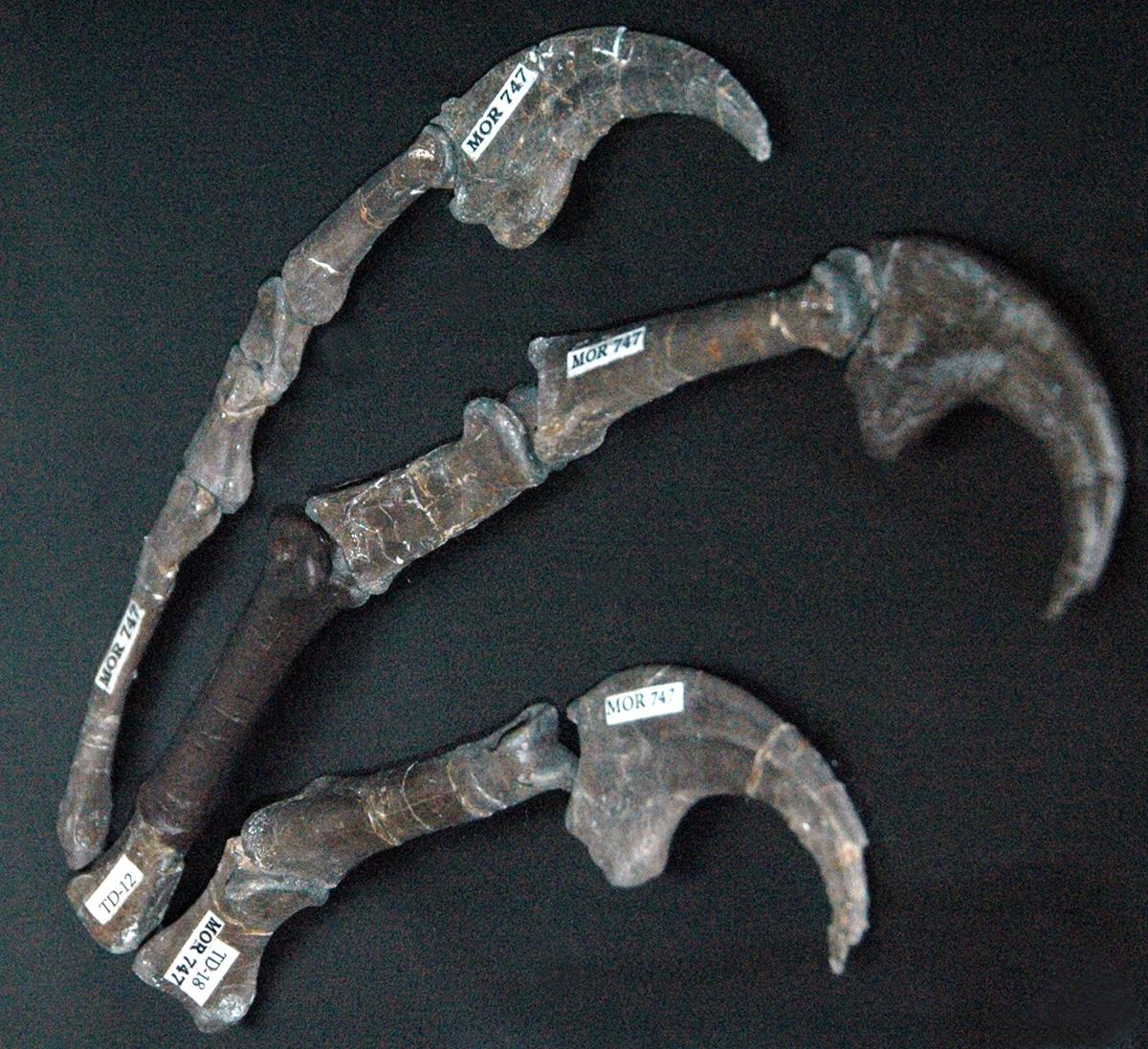El Deinonychus tenía una garra en forma de hoz