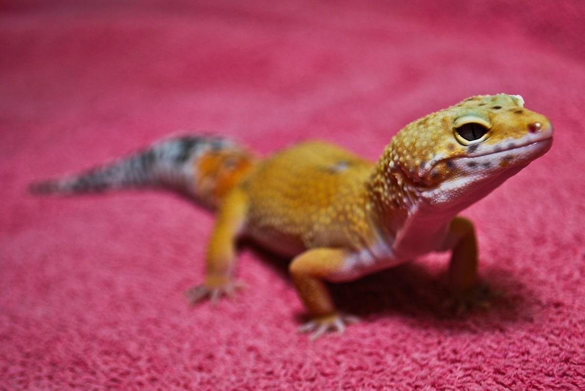 gecko cuidados