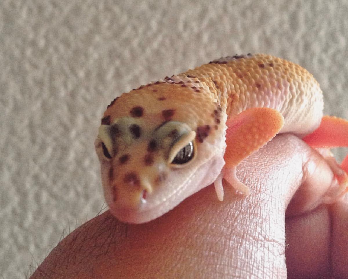 gecko mascota leopardo