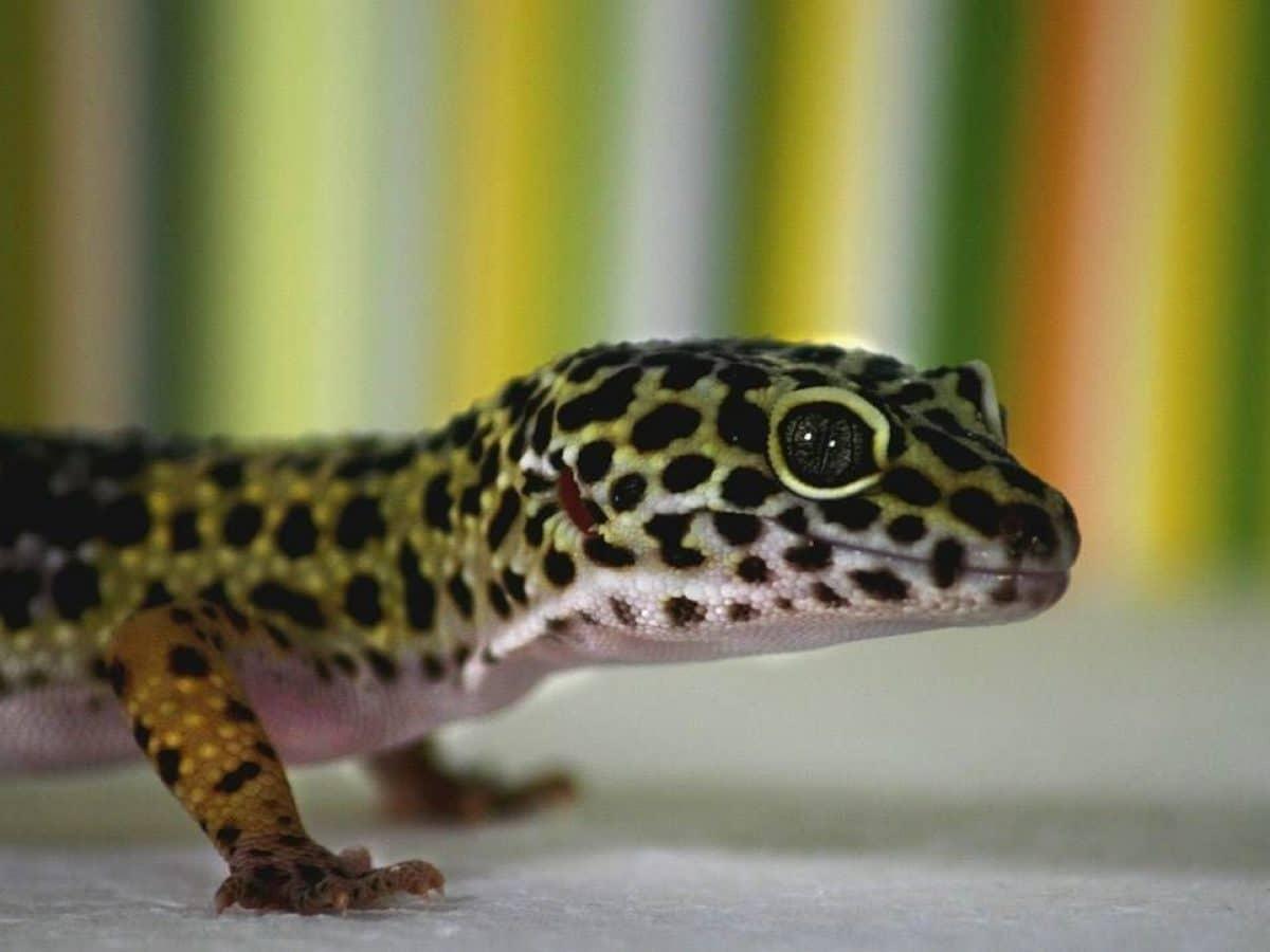 gecko mascota