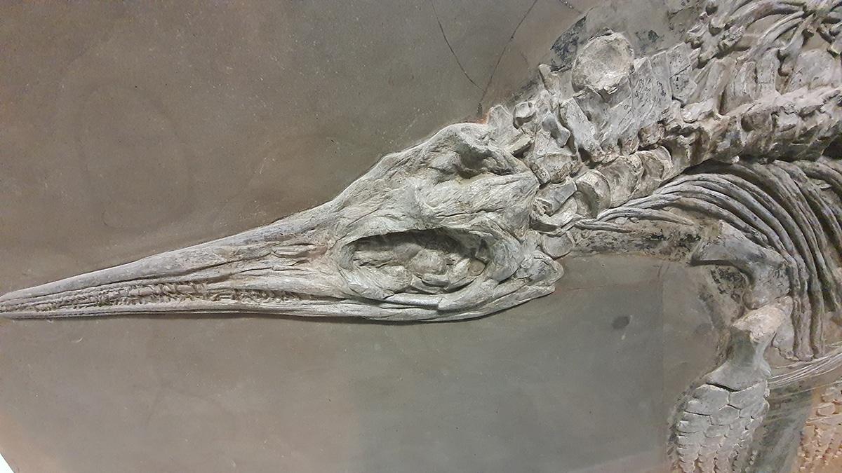 El Ichthyosaurus se alimentaba de peces y calamares