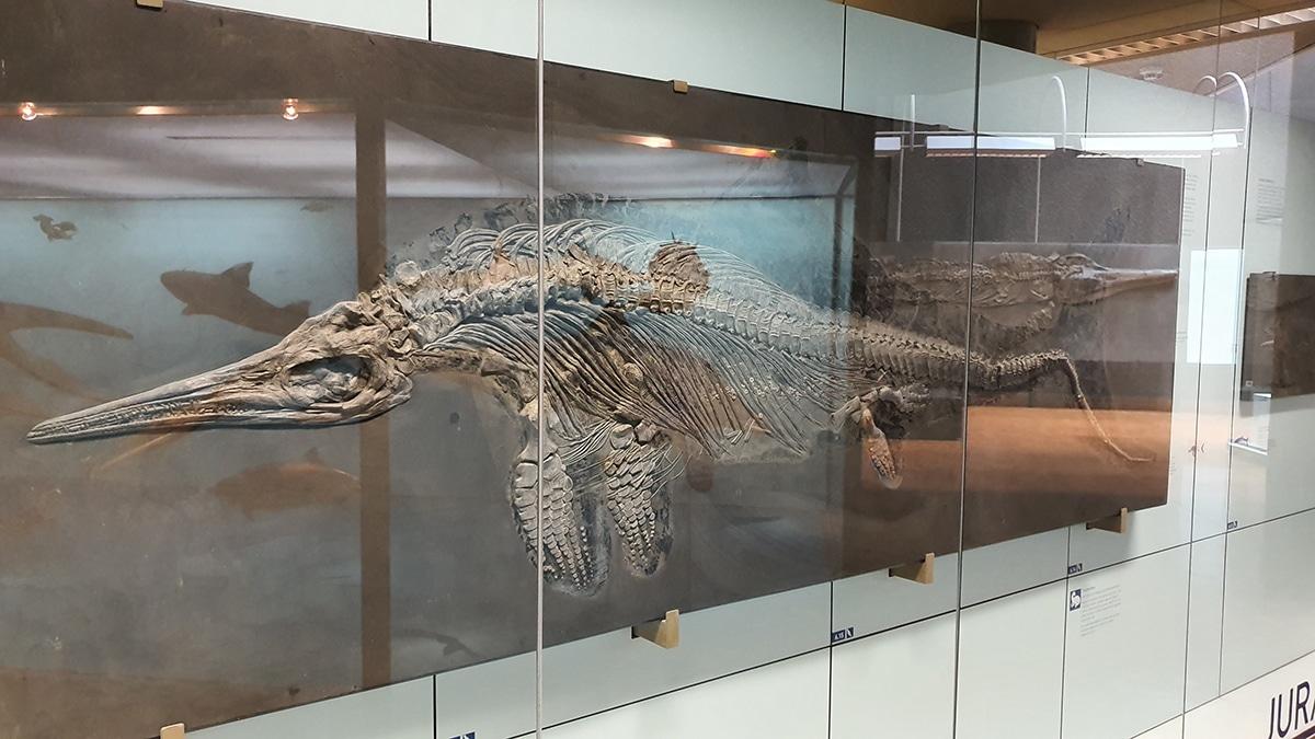 Existen muchos esqueletos bien preservados del Ichthyosaurus