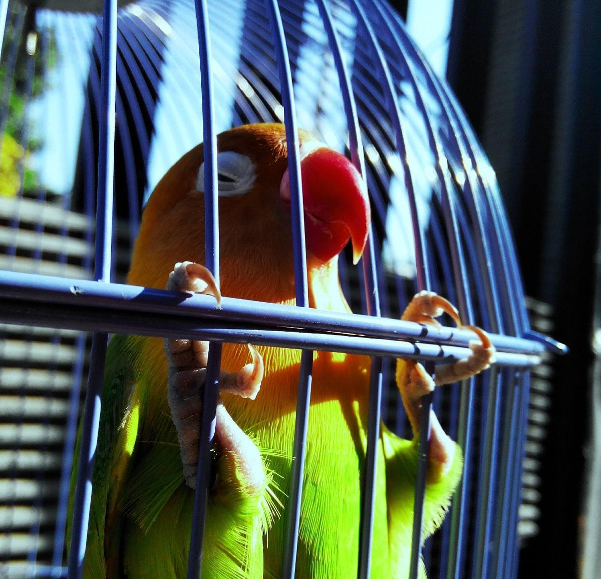 Consejos para mantener limpias las jaulas para agapornis