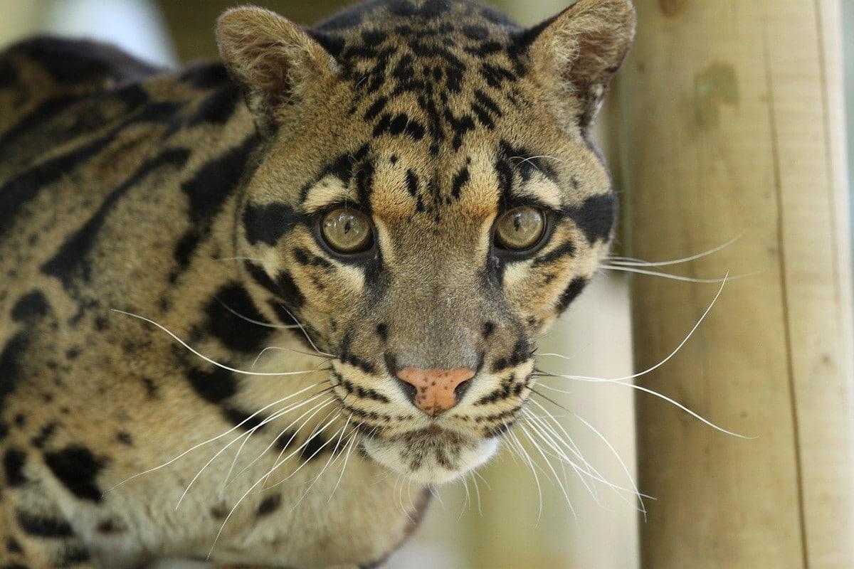 Características del leopardo nebuloso