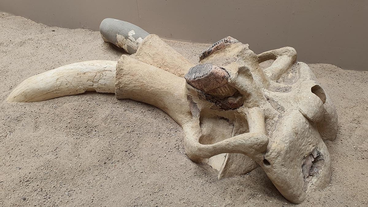 Los colmillos del mamut pesaban alrededor de 50 kilos