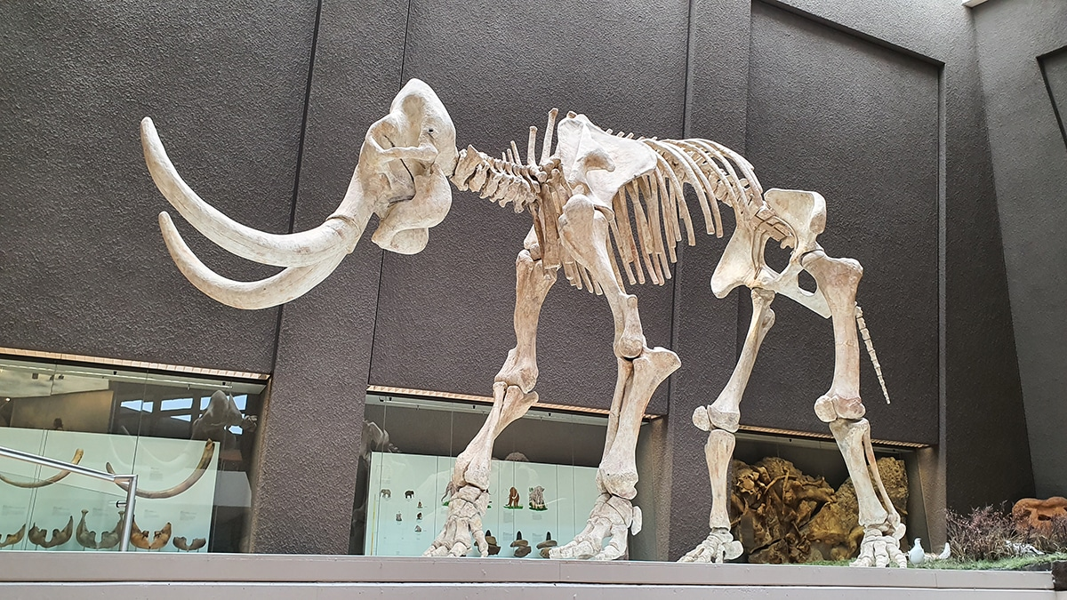La extinción del mamut se debió a varios factores.