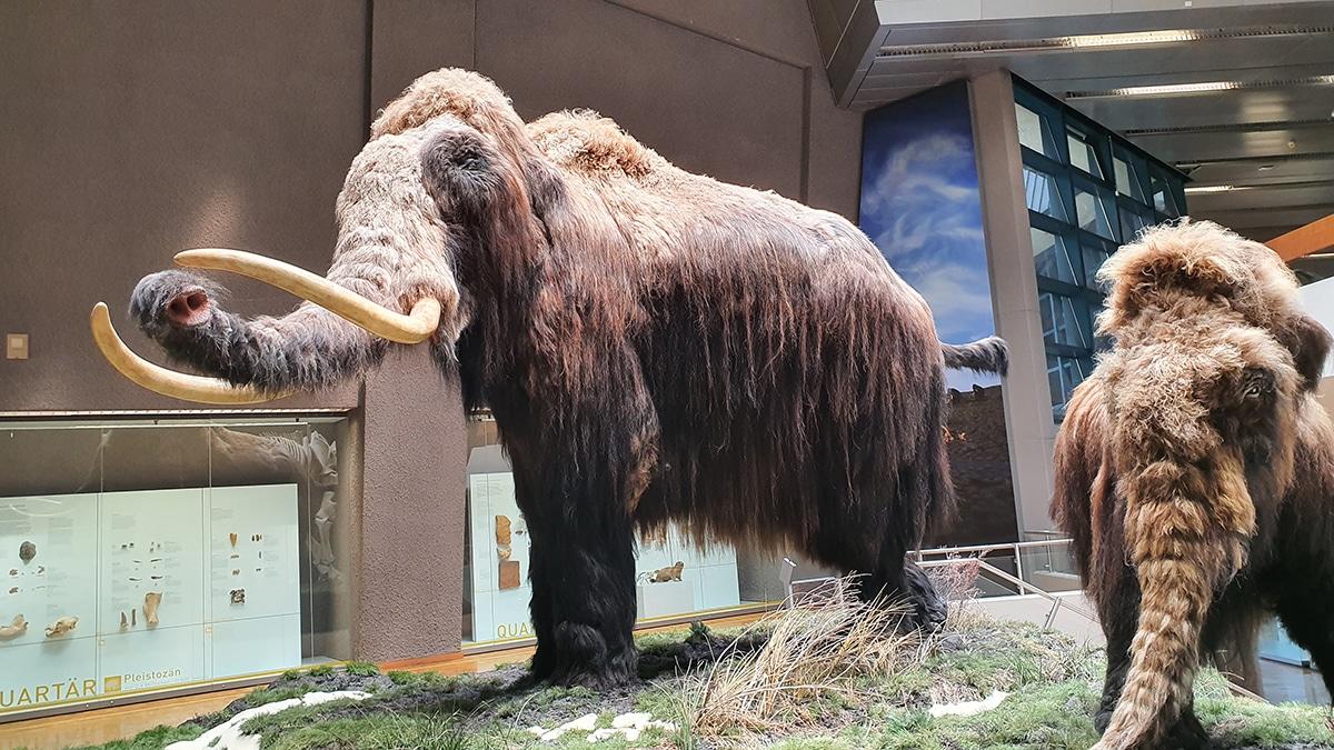 Se pueden extraer muestras de ADN del mamut