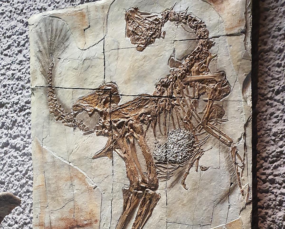 Existen más de 300 especímenes fósiles de Microraptor