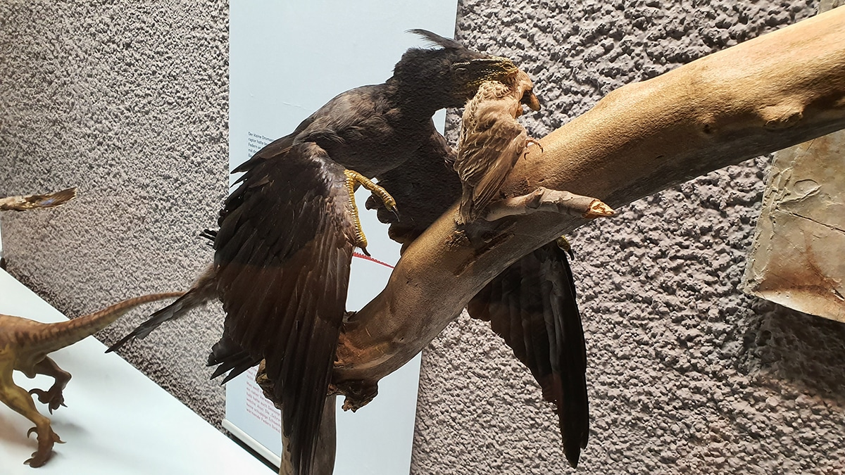 El Microraptor se tragaba sus presas enteras