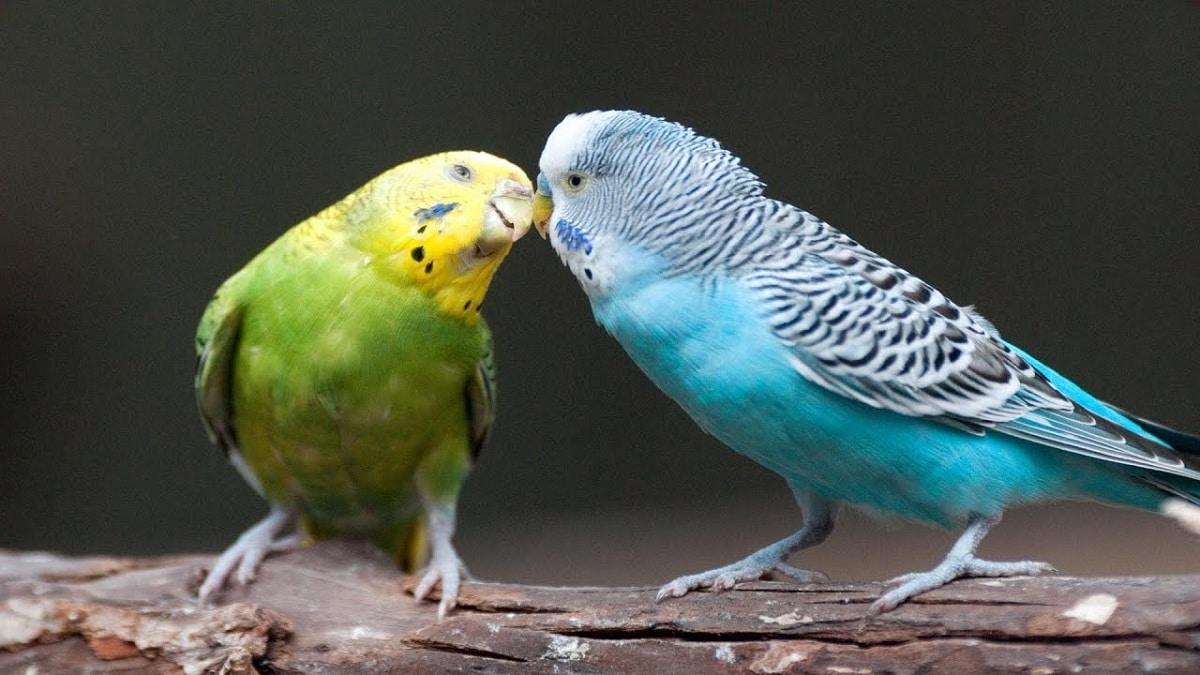 pareja de periquitos