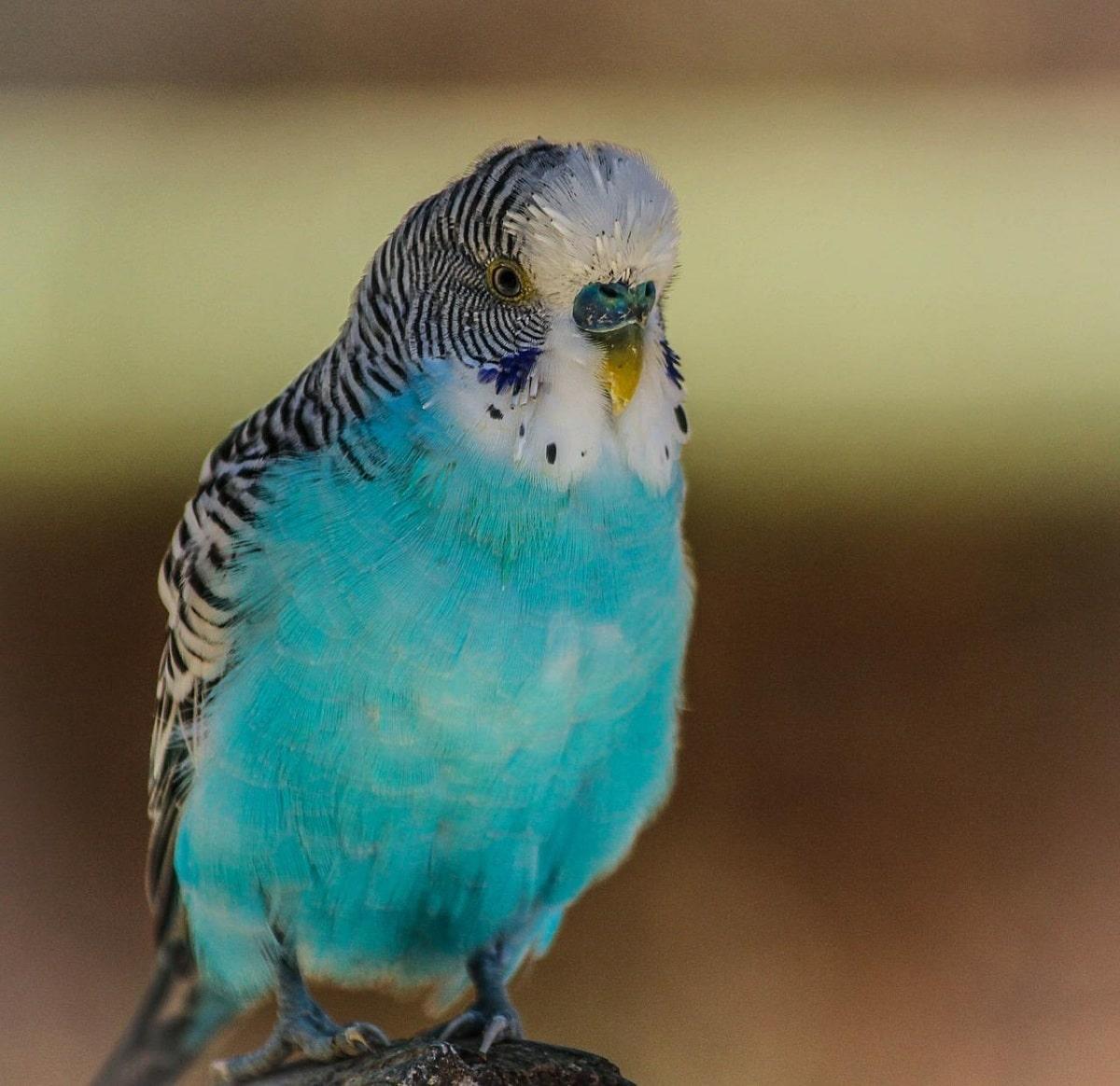 periquito azul