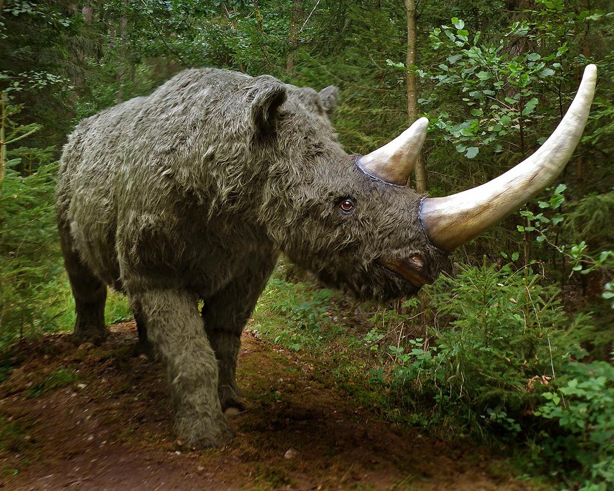 El rinoceronte lanudo tenía un cuerpo muy robusto