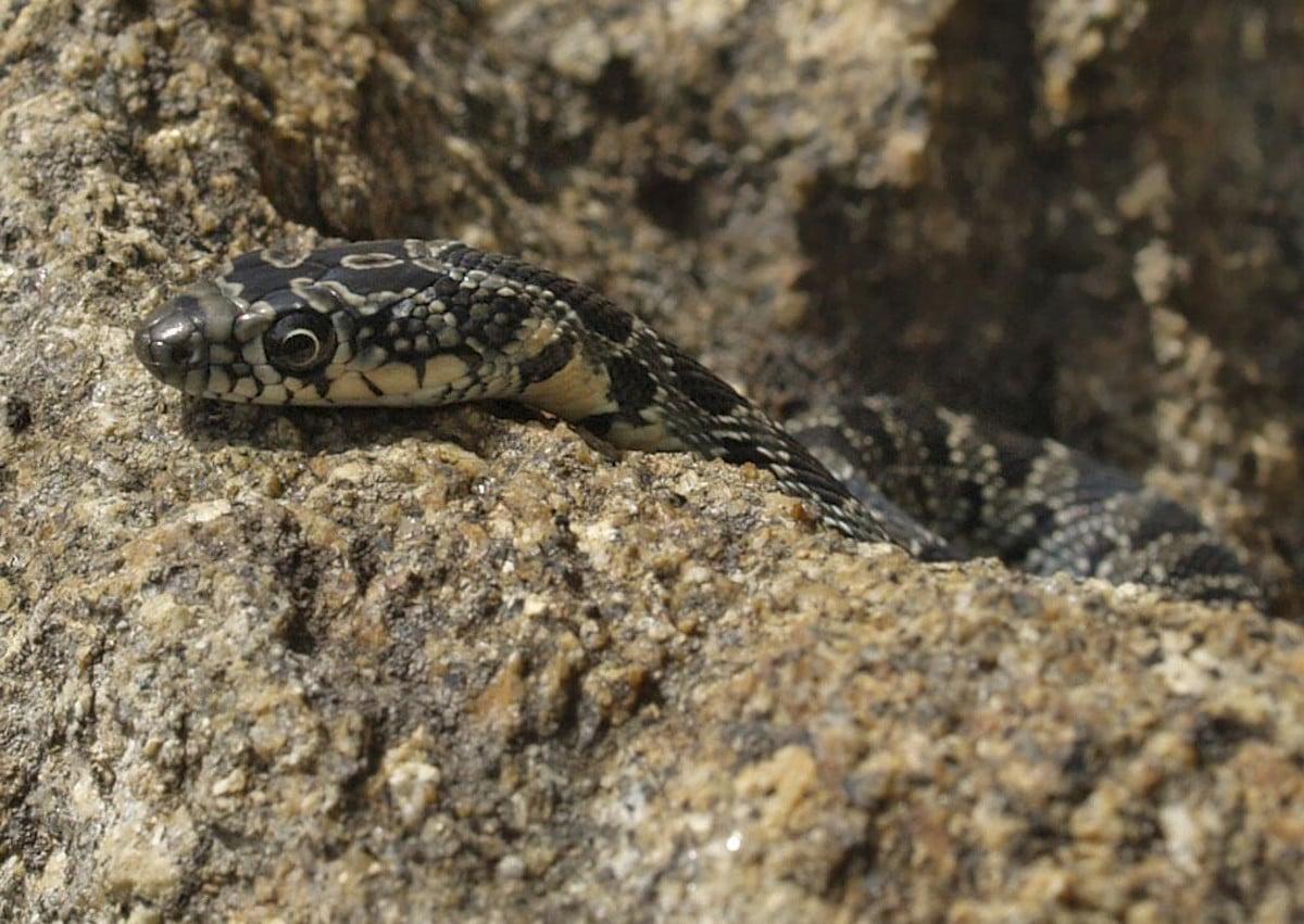 Características de la serpiente de herradura