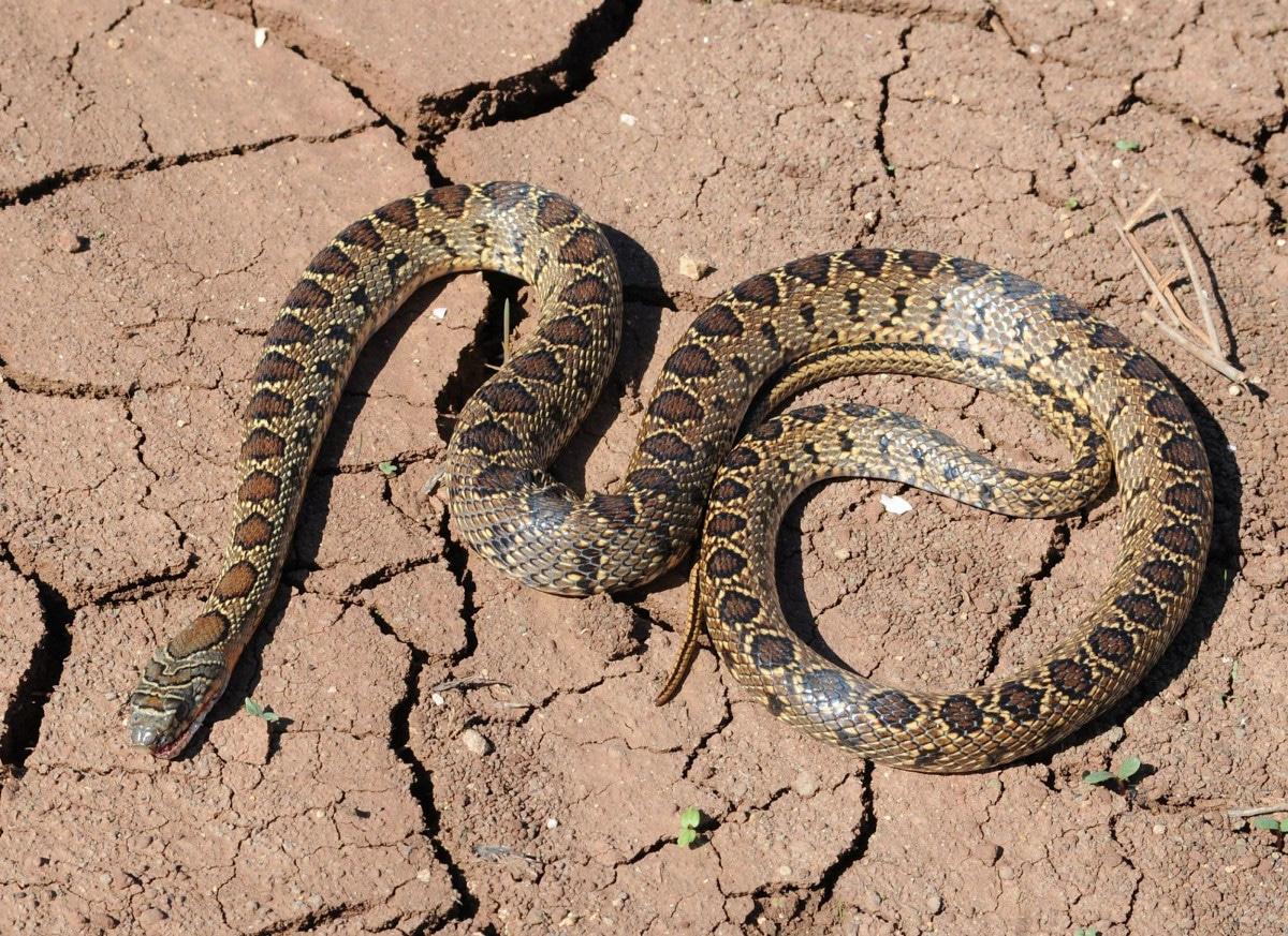 La alimentación de la serpiente de herradura