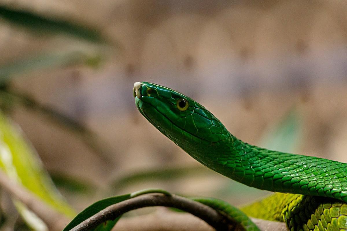 La reproducción de la serpiente verde