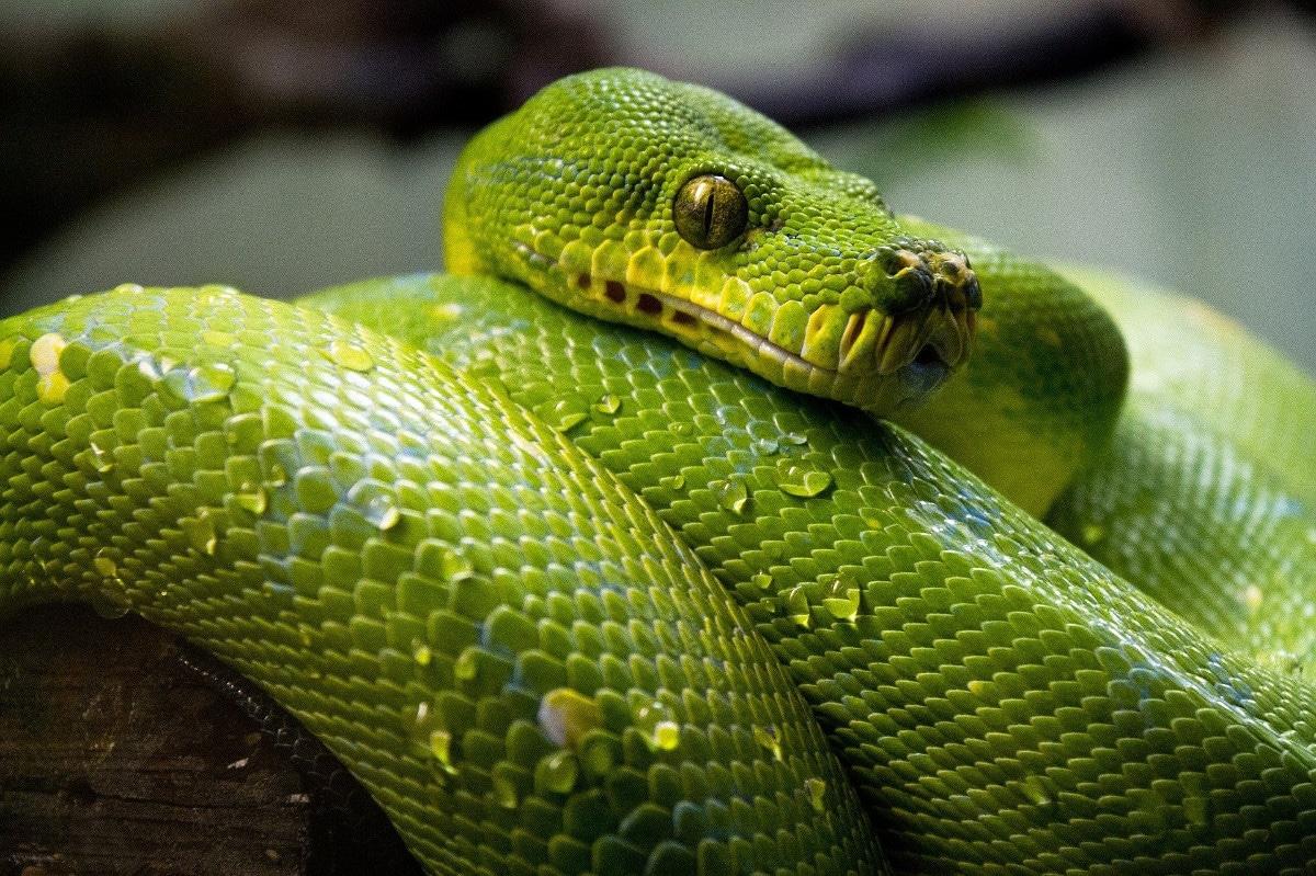 La alimentación de la serpiente verde