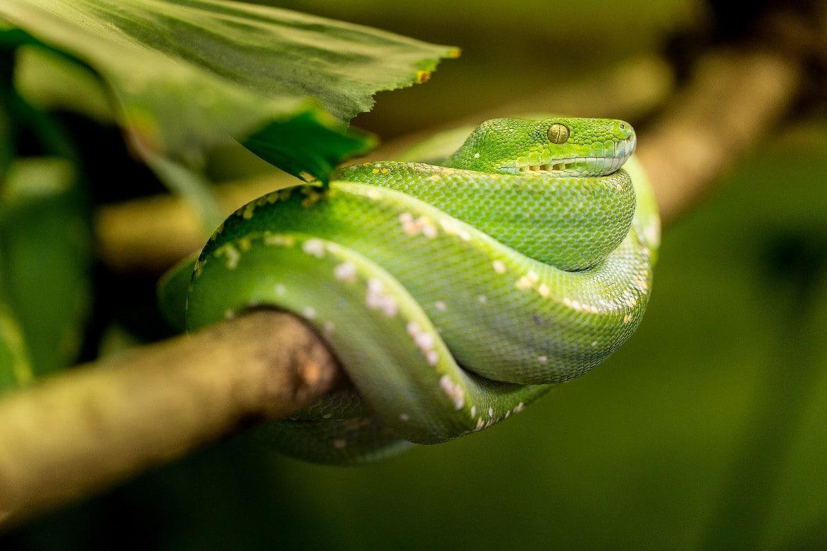 Los cuidados que necesita una serpiente verde en cautividad