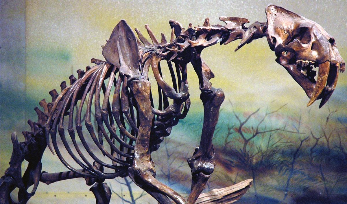 El smilodon era el felino más grande que ha existido.