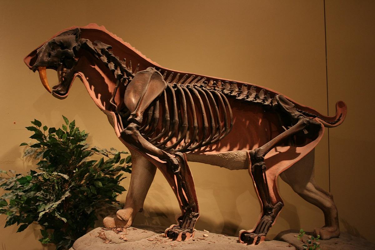 El smilodon era muy parecido al lince rojo actual