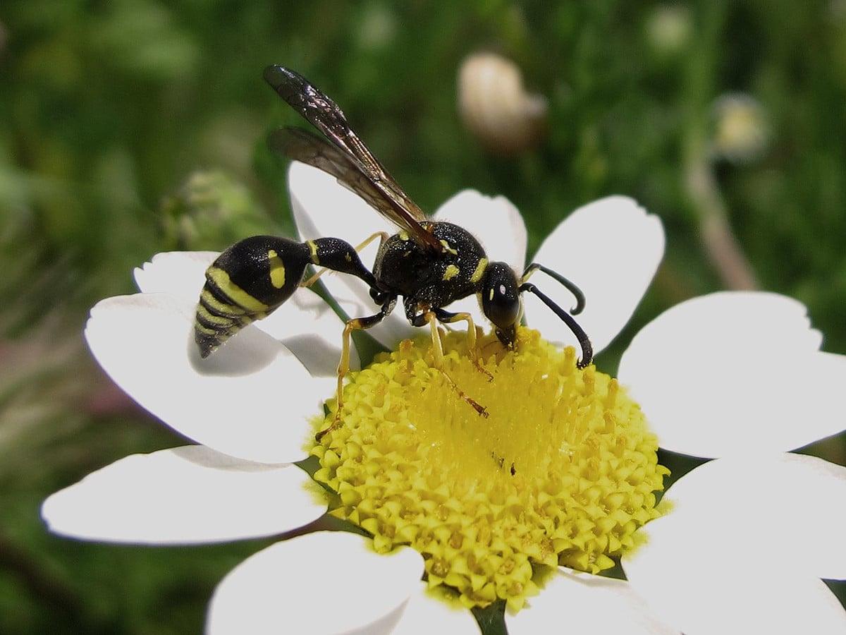 La alimentación de la abeja alfarera