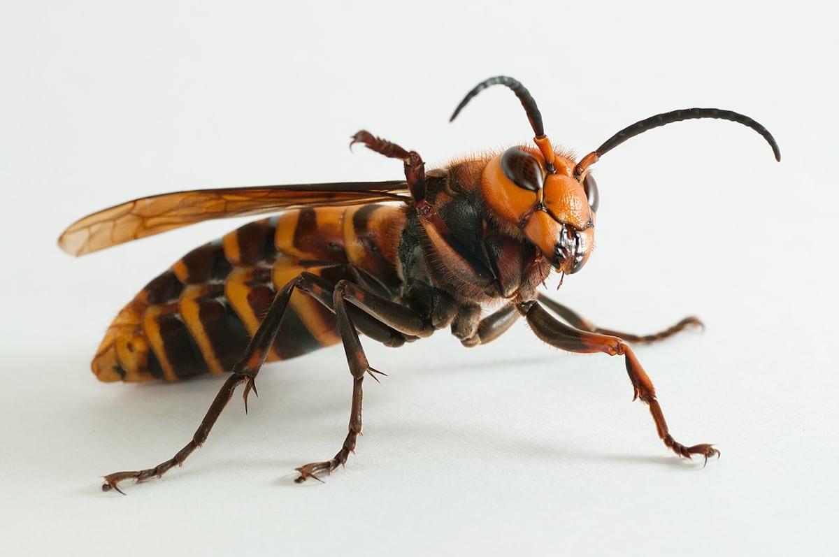 La alimentación de la abeja japonesa