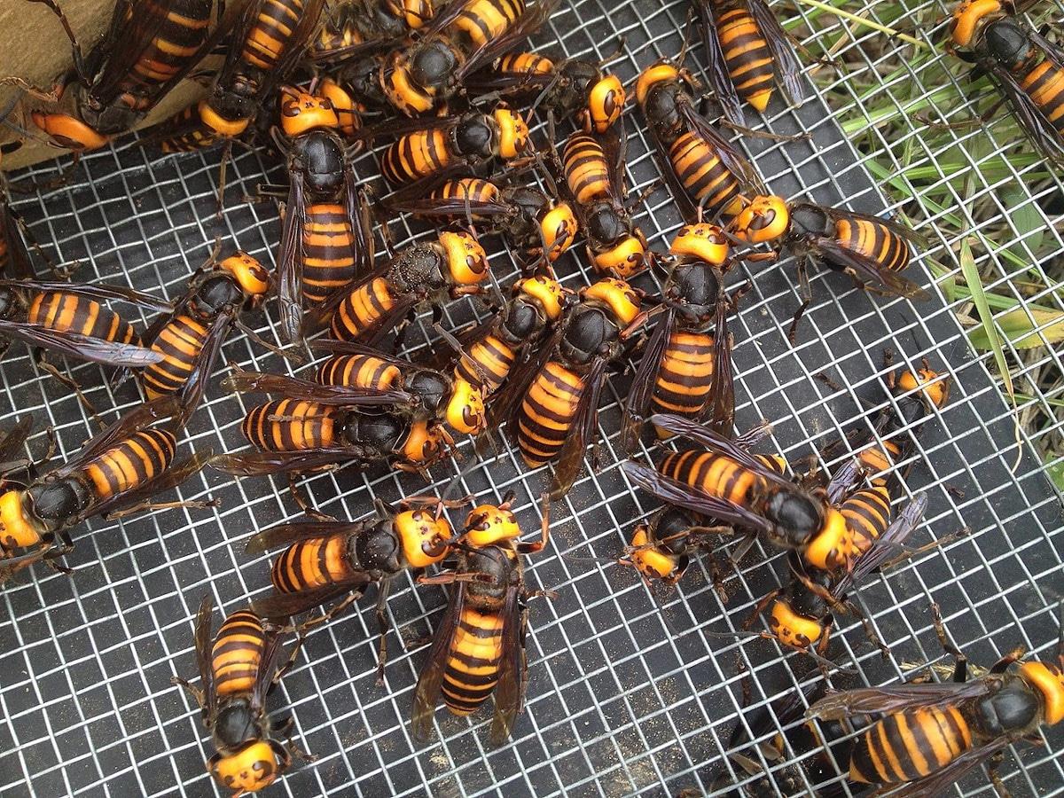 El veneno de la abeja japonesa