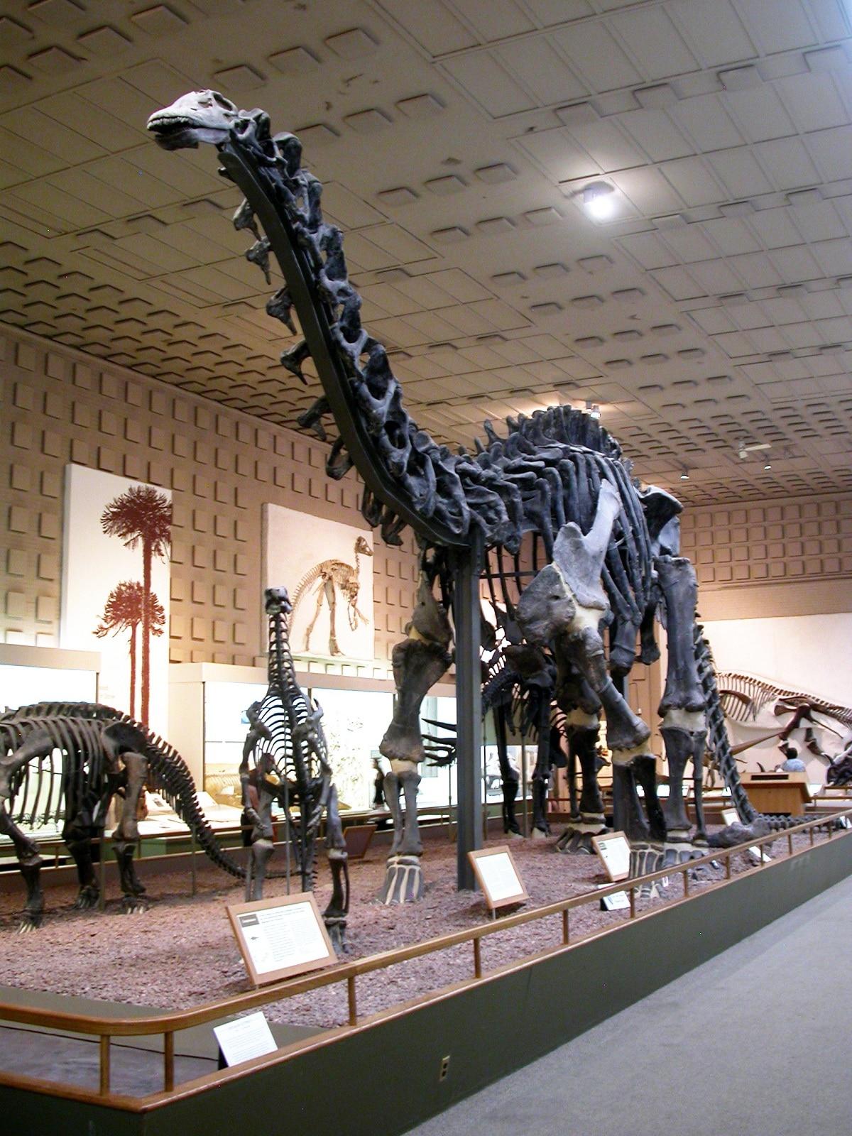 fosiles de brontosaurus