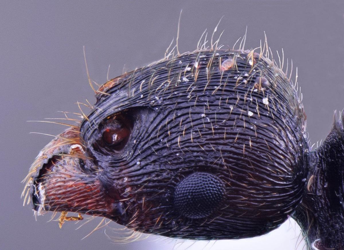 hormiga negra de cerca