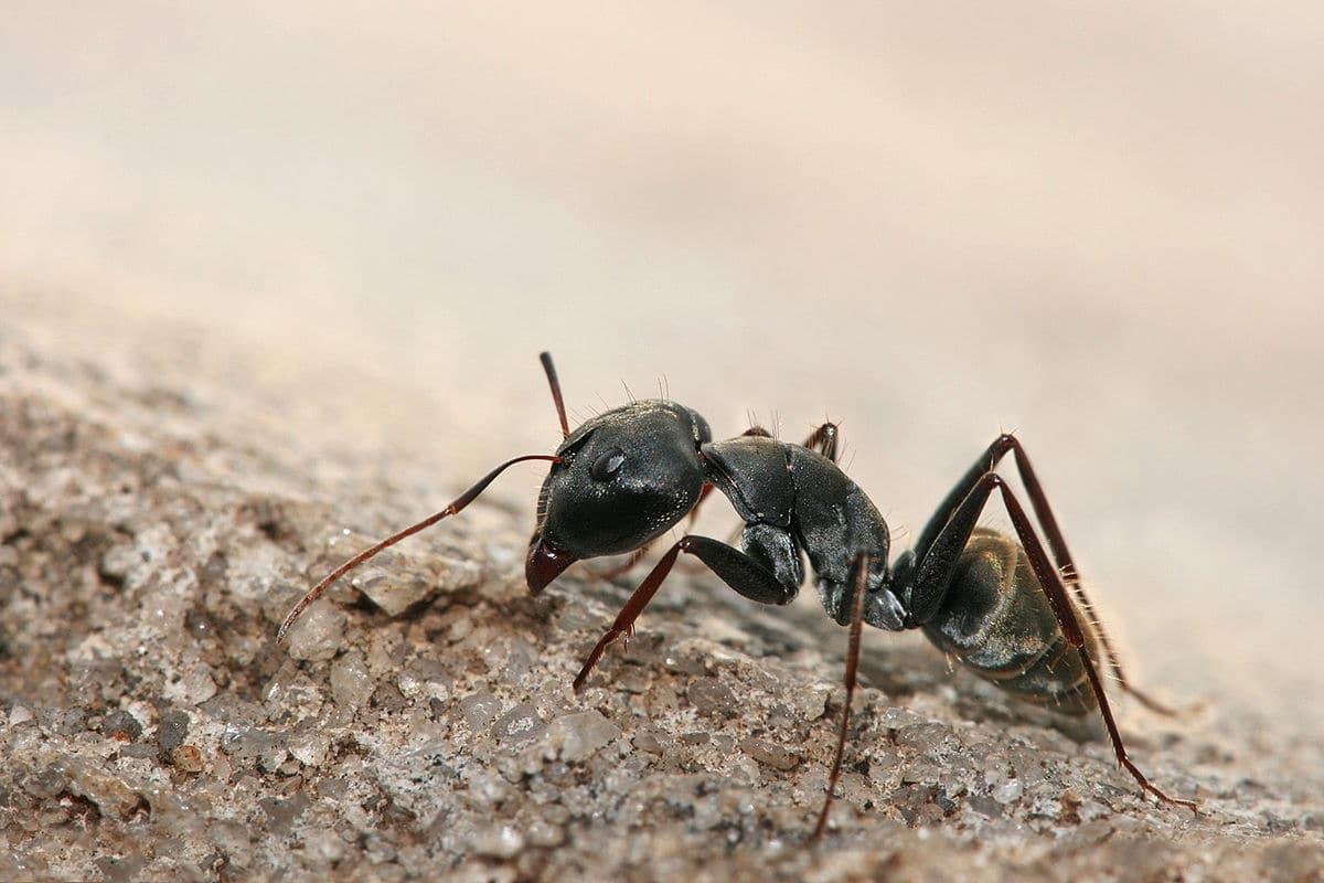 hormigas y pulgones