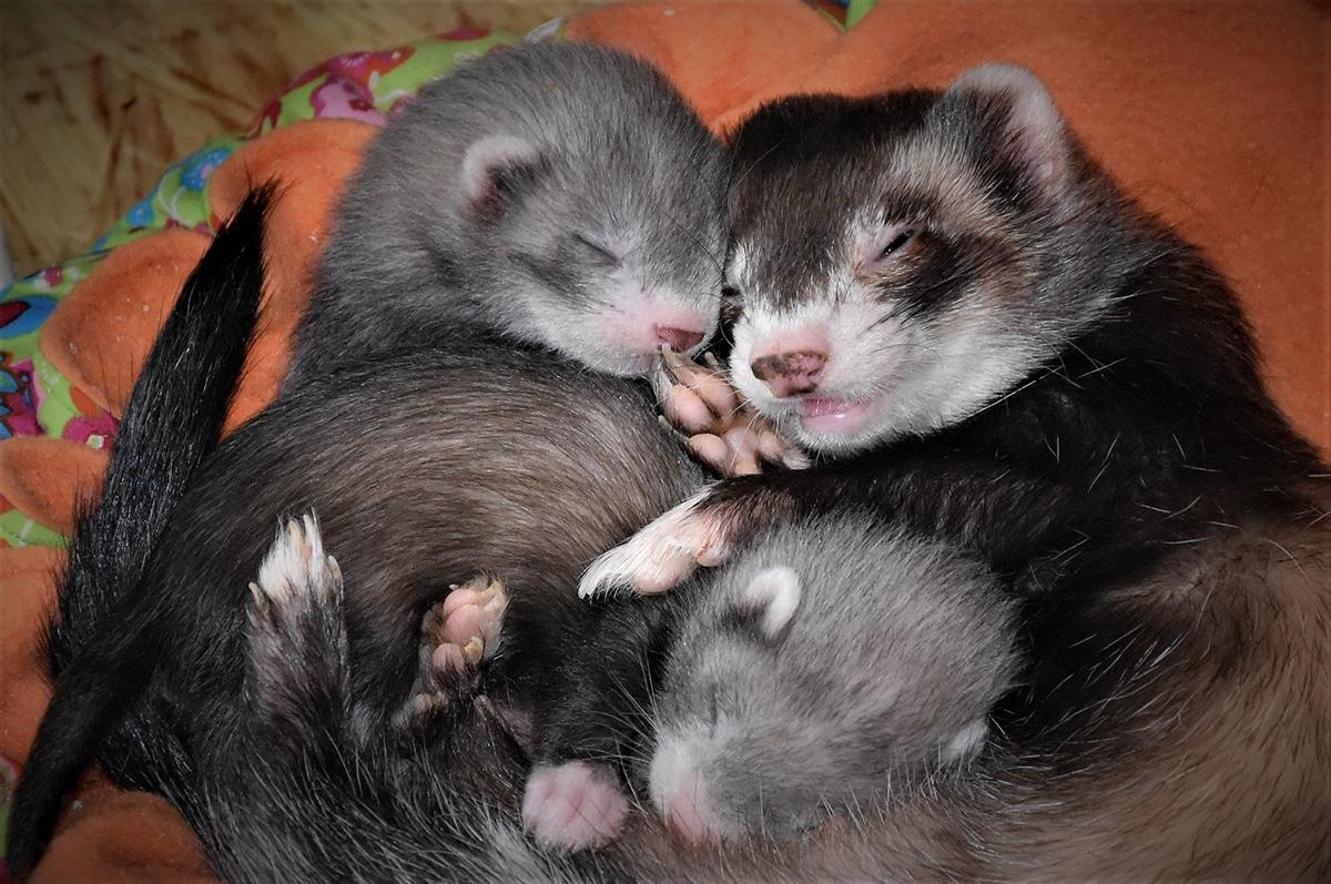 Las fotos de hurones durmiendo siempre son muy monas o graciosas
