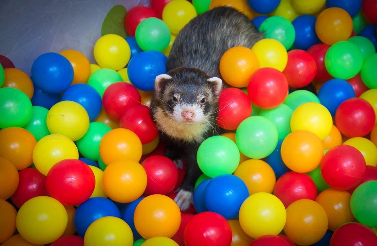 A los hurones les encanta jugar en piscinas de pelotas de color y dan mucha vida a la foto