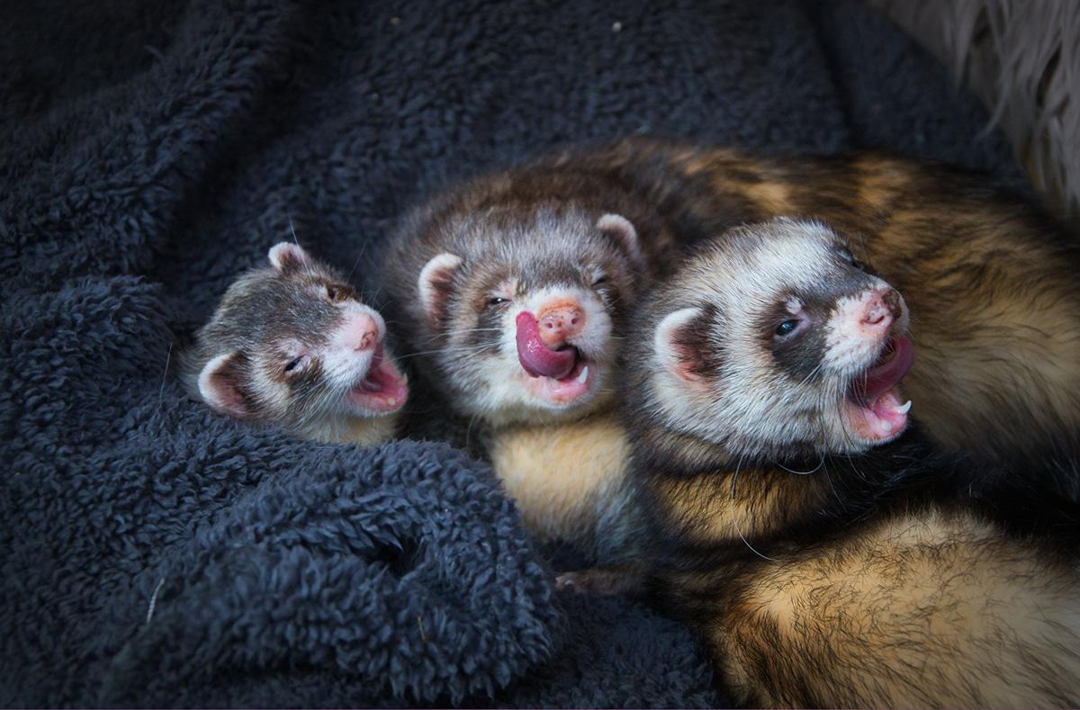 Los hurones bostezando quedan muy dulces en las fotos