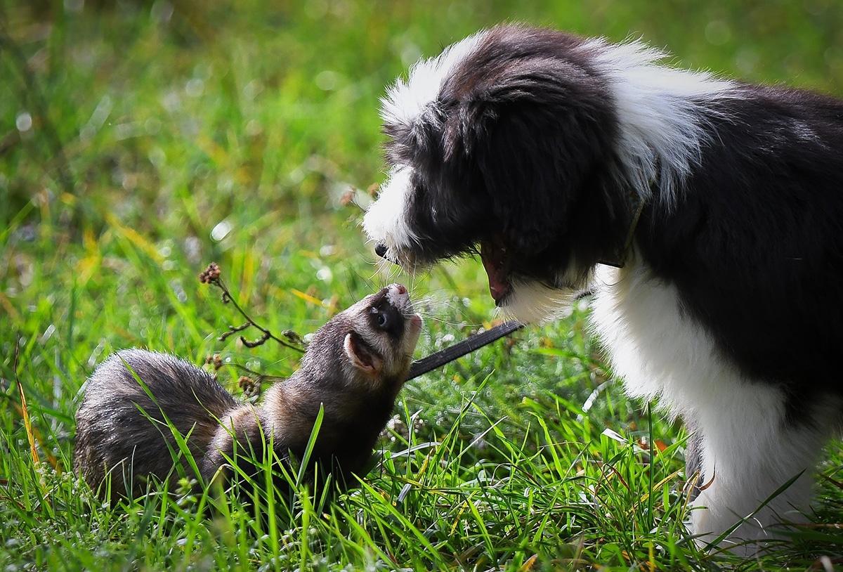 Las fotos de cachorros jugando con hurones son especialmente bonitas