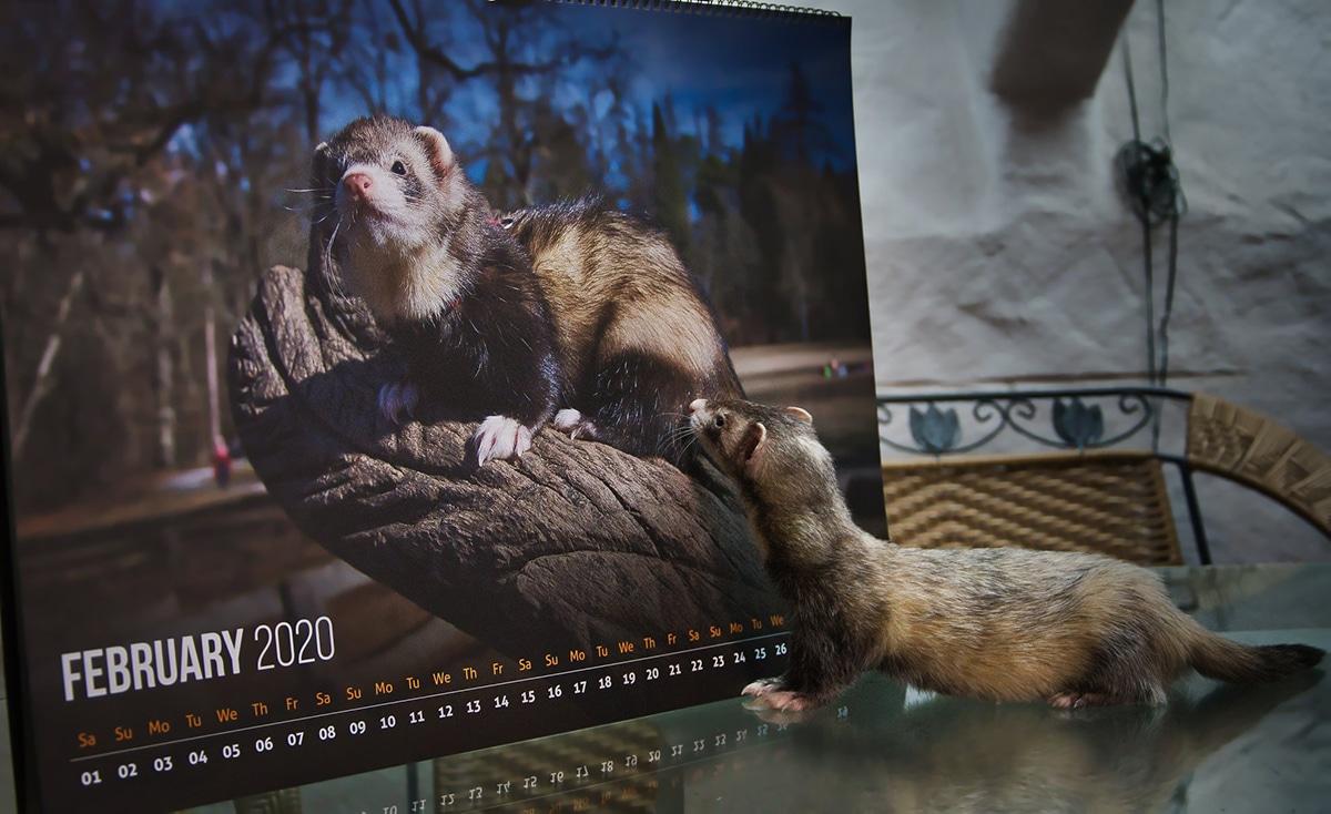Un hurón junto a un calendario de hurones es una idea maravillosa para una foto