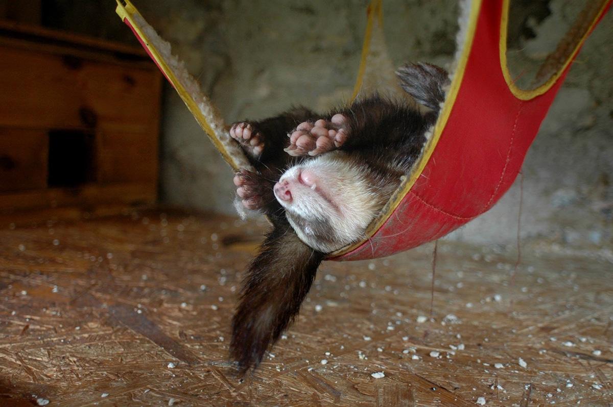 A los hurones les encanta dormir en hamacas