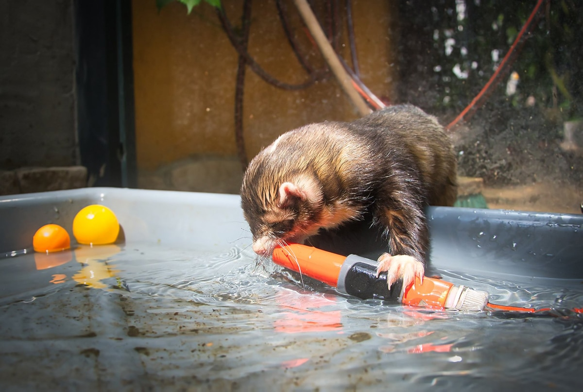 A los hurones les encanta jugar con el chorro de agua de la manguera