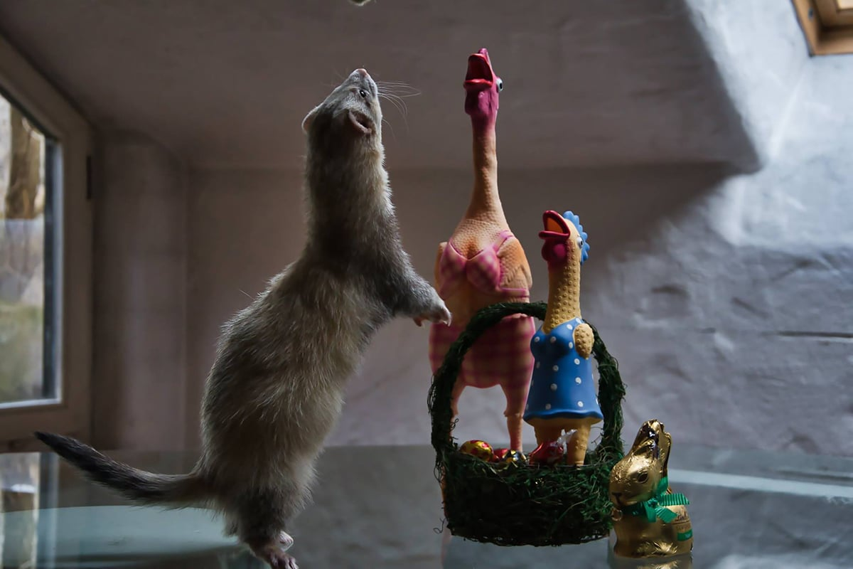 Con comida y juguetes conseguimos que los hurones miren hacia donde queramos para la foto