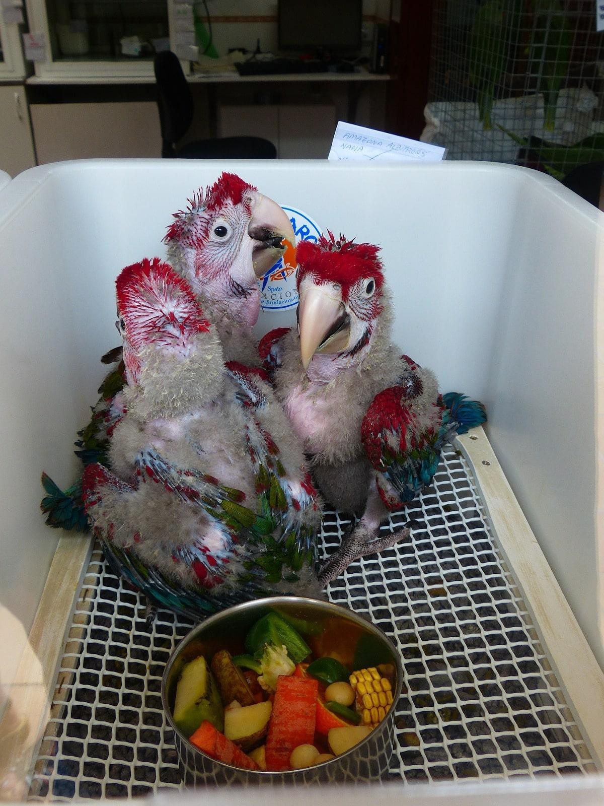 La alimentación del loro papillero