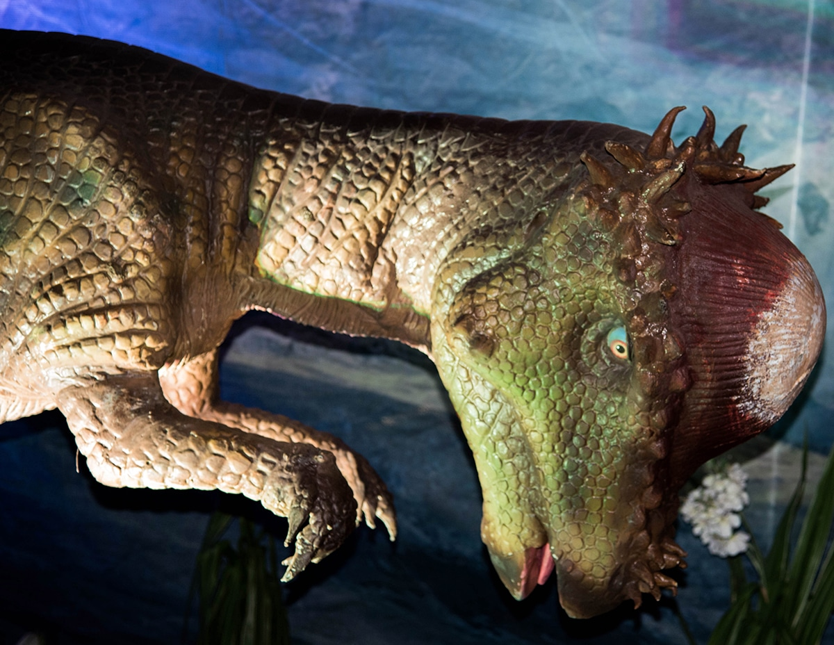 La características más destacable del Pachycephalosaurus es su domo grueso