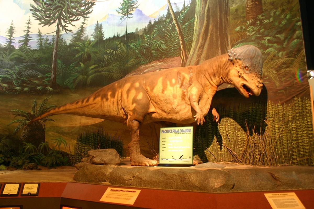 El Pachycephalosaurus pesaba 2000 kilogramos