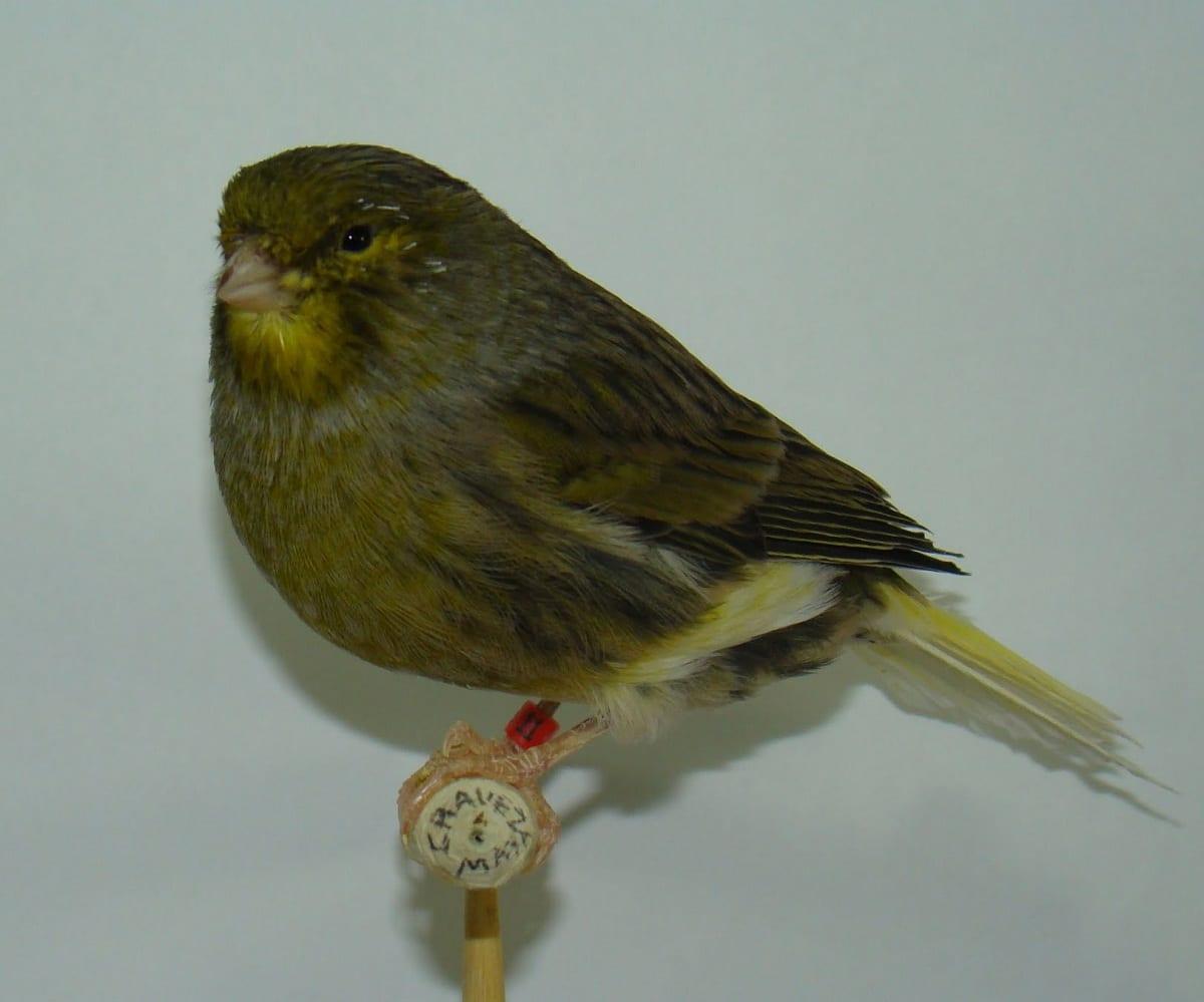 razas de canarios pequeños