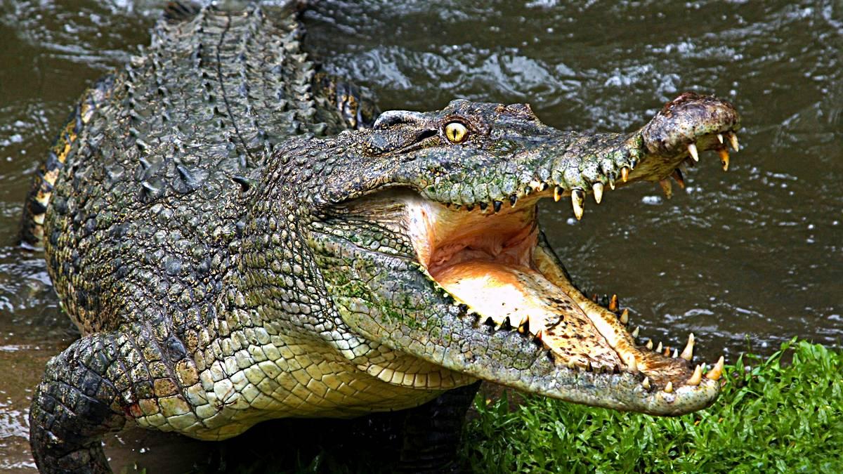 Diferencias entre los cocodrilos y los caimanes