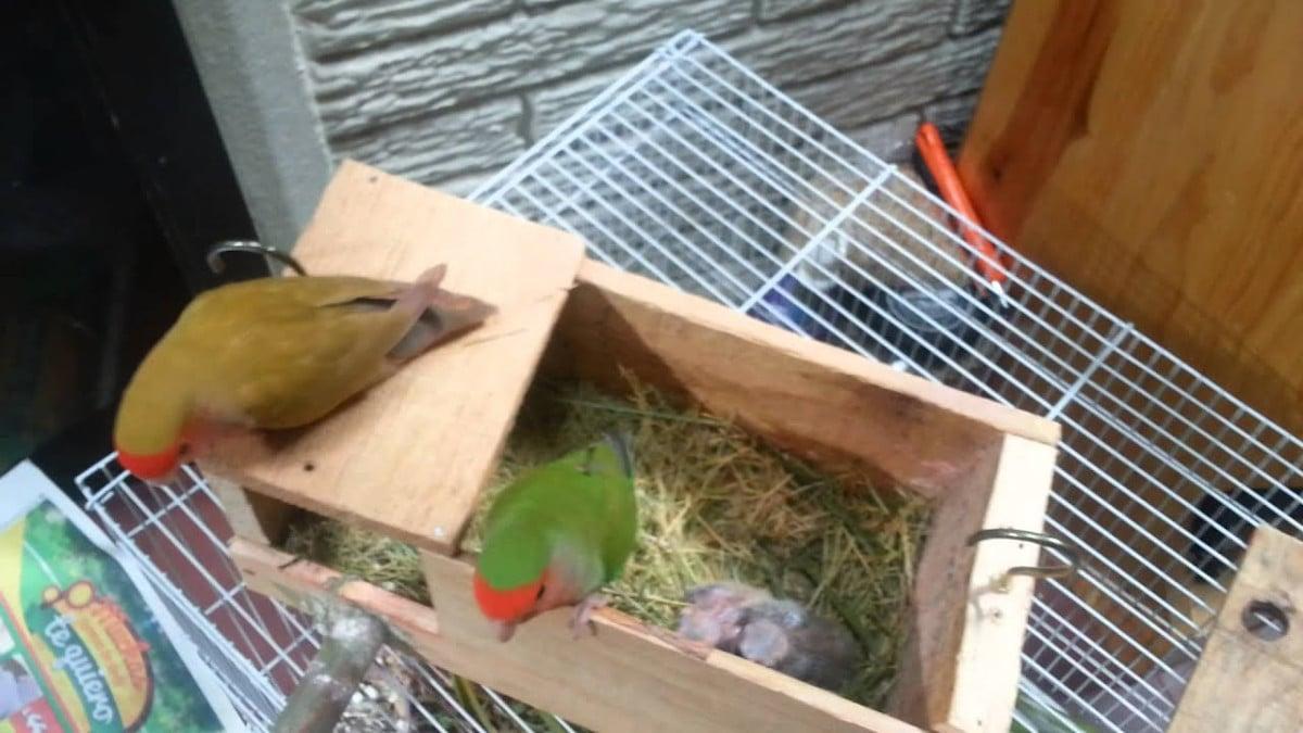 La ubicación ideal del nido de agapornis