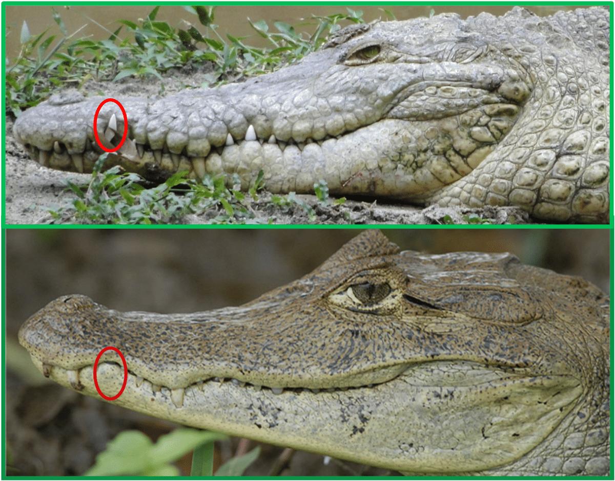 caiman y cocodrilo