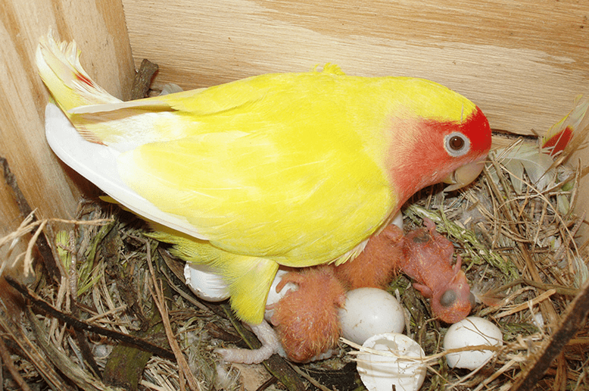 La reproducción de los agapornis