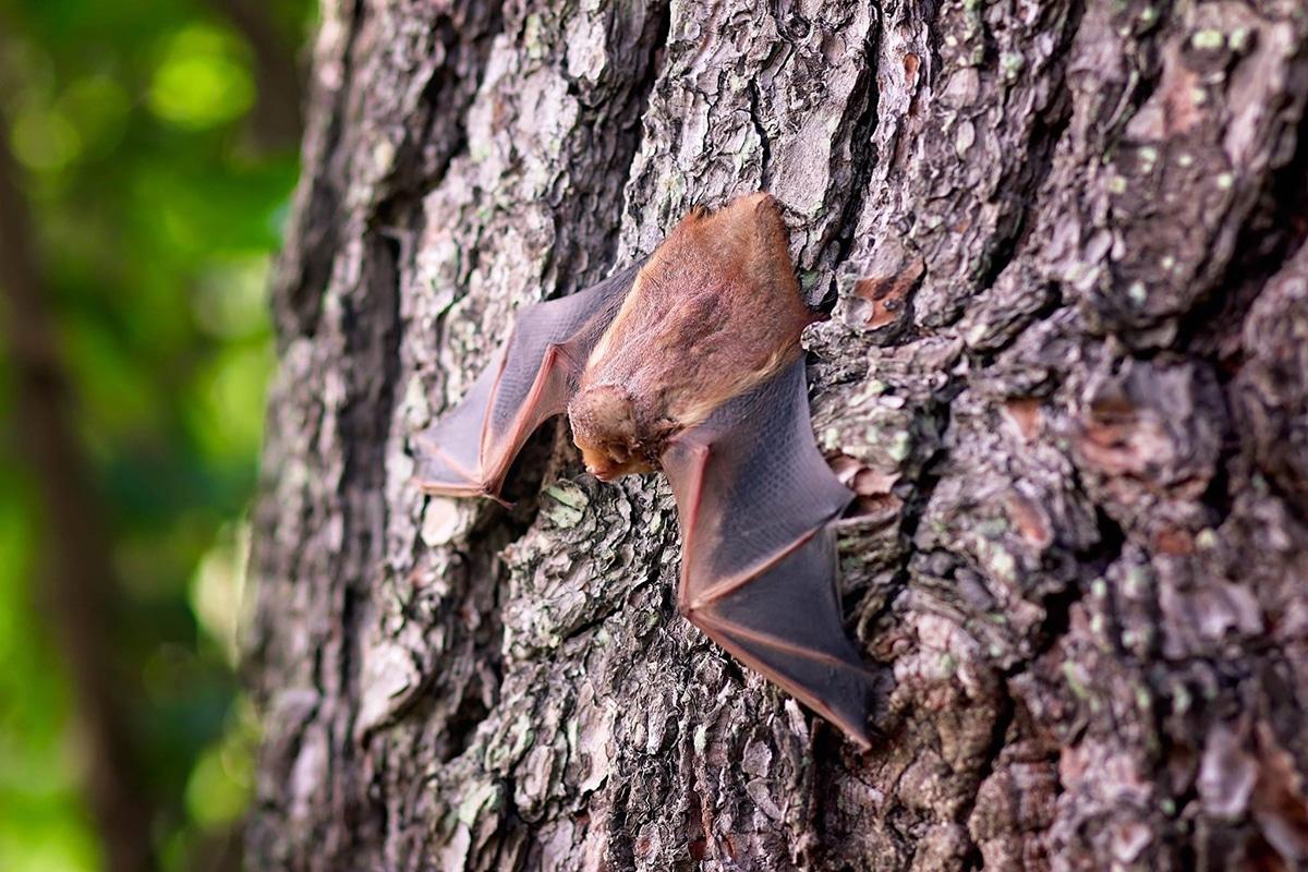 Las hembras de murciélagos cooperan para cuidar a sus crías