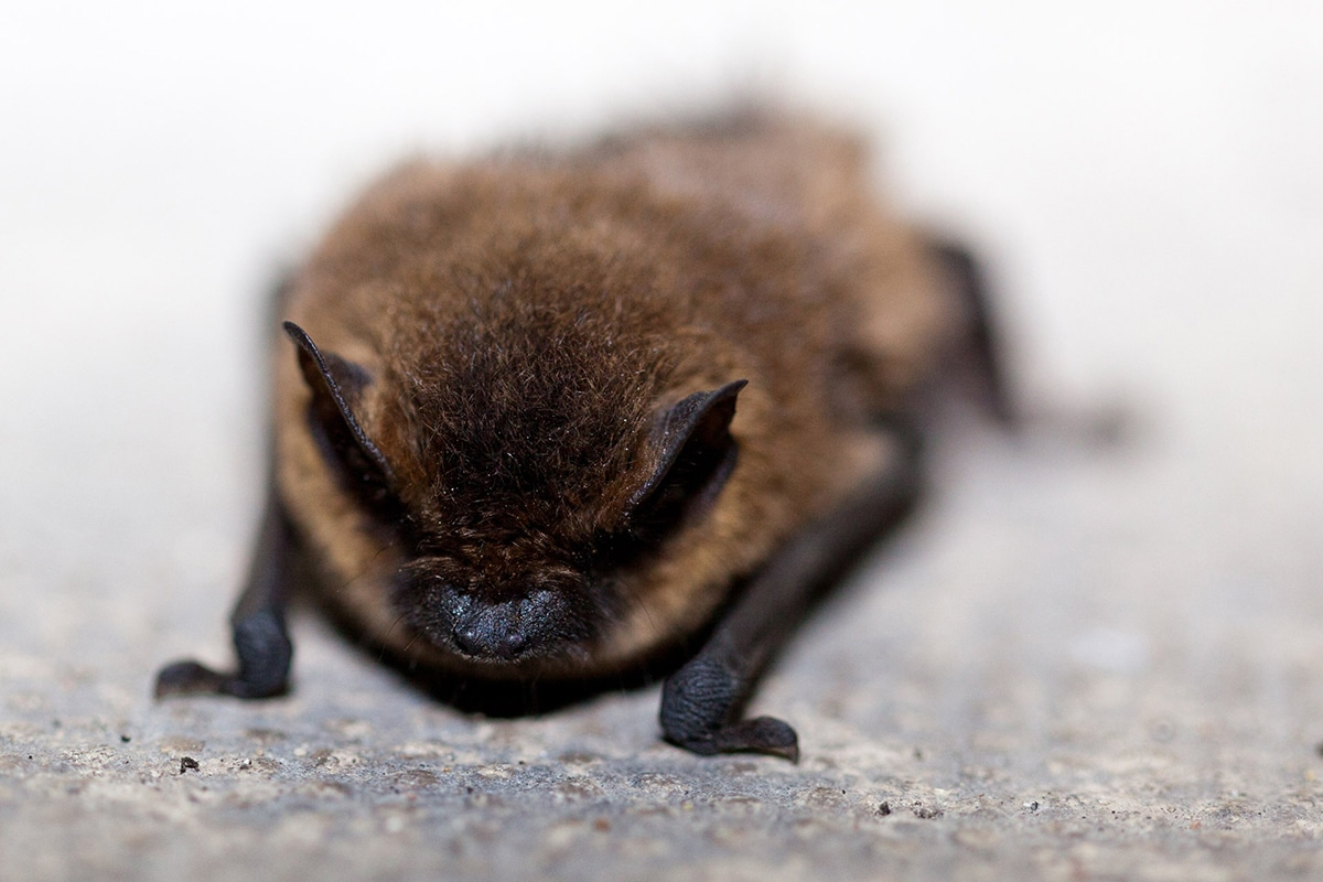 Cada especie de murciélago tiene su propia forma de reproducirse